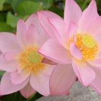 蓮の花苑 開花状況6