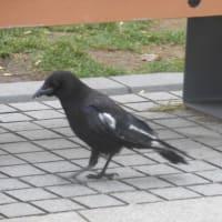 カラスなのに羽が白い?遺伝子の変異が原因か
