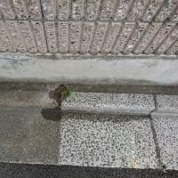 キカラスウリを塀の表に這わせられるか興味津々