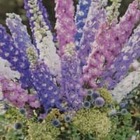 来春に豪華な花が咲きます!デルフィニュームの苗きましたよ!