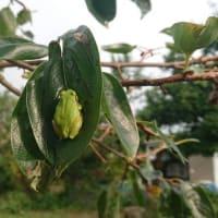柿の葉に 留まるカエルは なぜ落ちぬ・・