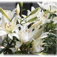 """初夏の花(^^♪華麗に咲き誇る、聖母マリアに捧げられた""""純潔のシンボル""""「ユリ(百合)」"""