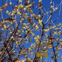 梅が咲きだした(相模原北公園・梅林)