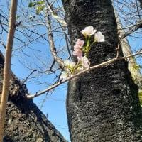 ■秋桜・・いやいや本物です