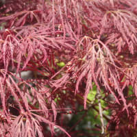 葉に深い切れ込みがあり、いつでも赤い ベニシダレ