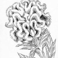 鶏頭(ミリペン画)