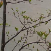 やまぼうしの芽吹き 2011
