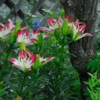 スカシユリが咲きました