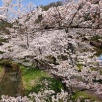 満開の桜の下を散歩