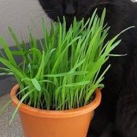 クロサンのネコ草