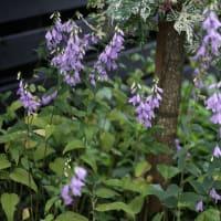 カンパニュラ・ラプンクロイデス咲く今日の庭から