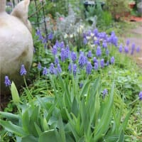 福岡よりは遅い春だけど《庭のチューリップ》