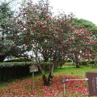 大幡池のレットさんと、椿の花とツツジの花。