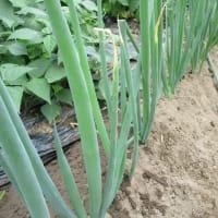 ネギの土寄せとポロネギ植え付け