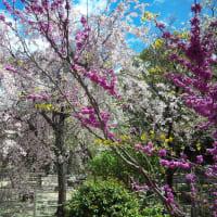 夜桜見物&観桜茶会@縮景園に出かけてきました