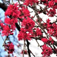 菊花の様な菊桃