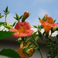 夏の花~ノウゼンカズラ