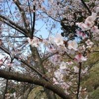 早春の葛城山