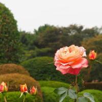 新宿御苑の秋のバラ その2
