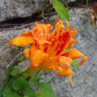 ナツフジ【夏藤】の花など