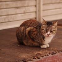街猫春雷(シュンライノコロノマチネコ)④ Okinawan Cats #2236