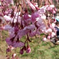 仙台の桜 in 榴ヶ丘公園