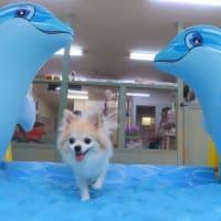幼稚園体験にきてくれたパピヨンの【クロエちゃん】 犬のしつけ教室@アロハドギー