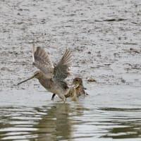 また大きく翼を伸ばした、オオハシシギ。