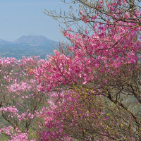 二上山のアケボノツツジ開花状況 ~ 2021年4月11日 阿蘇山を背に 満開