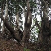 2020年11月26日(木) [京都北山]井ノ口山、幹周り18mを超える伏状台杉を観に行く!