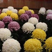 「おはようの花」 菊 11月