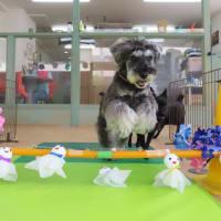 幼稚園体験にきてくれたトイプードルの【レディちゃん】 犬のしつけ教室@アロハドギー