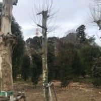 千代田区明大通りのプラタナス 2019.05
