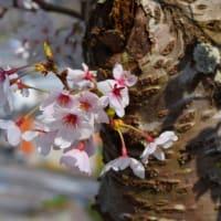 福知山城の桜を見ながら