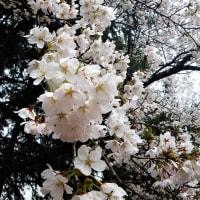 19-04-24 ソメイヨシノ