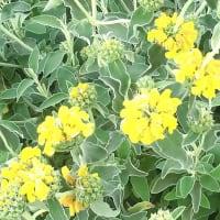 エルサレムセージの花は
