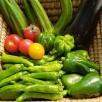 すこぉーしカラフルな今朝の家庭菜園からの収穫