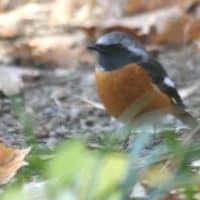 ё 日本では冬によく見られる渡り鳥、ジョウビタキ♂の姿 ё KK楽園(岐阜県各務原市)