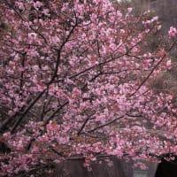 河津桜を見に・・・