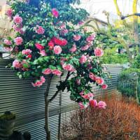 「我庭に満開」