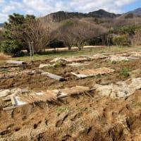 自然薯畑で収穫のお手伝い|箱根 自然薯の森 山薬