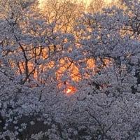 桜は満開なれど
