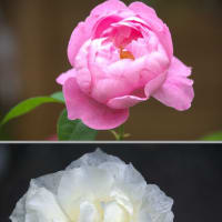 ピンクと白いバラ