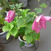 8月のMyガーデンのムクゲの花