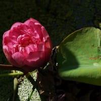 蓮は美しい