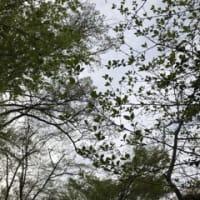 桜から葉桜へ 🌸 2019年4月11日
