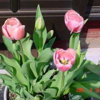 咲いた♪さいた♪チューリップの花