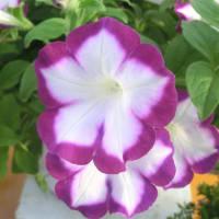 サフィニア・アートエドシボリの花は