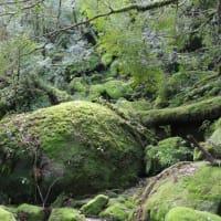 幻想的な雨の景色と色鮮やかな晴れの景色【屋久島白谷雲水峡ガイドツアー】
