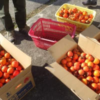 干柿用にたくさんの渋柿を収穫